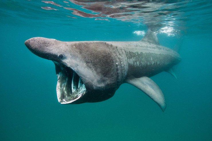Основную пищу гигантской акулы составляют мелкие рыбешки, планктон, криль
