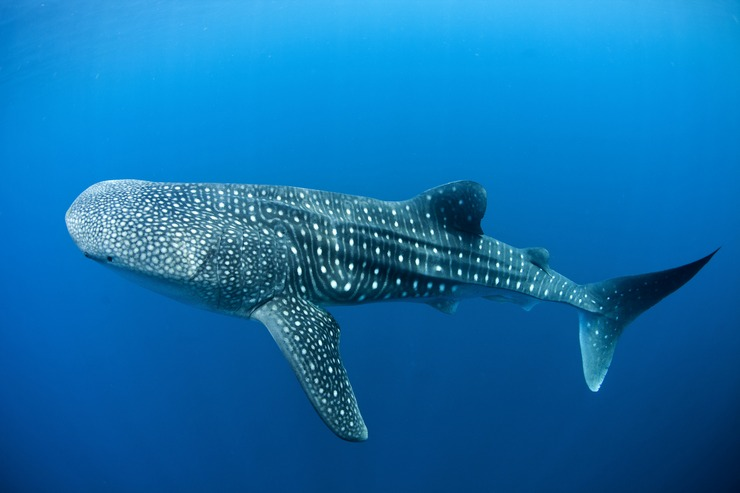 Китовая акула уверенно держит пальму первенства, ведь она не только самая большая из всех известных в мире акул, но и среди всех рыб современности