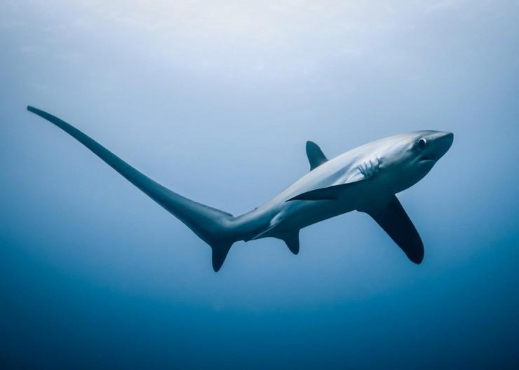 Лисья акула охотится весьма необычным способом – ее хвост играет роль хлыста