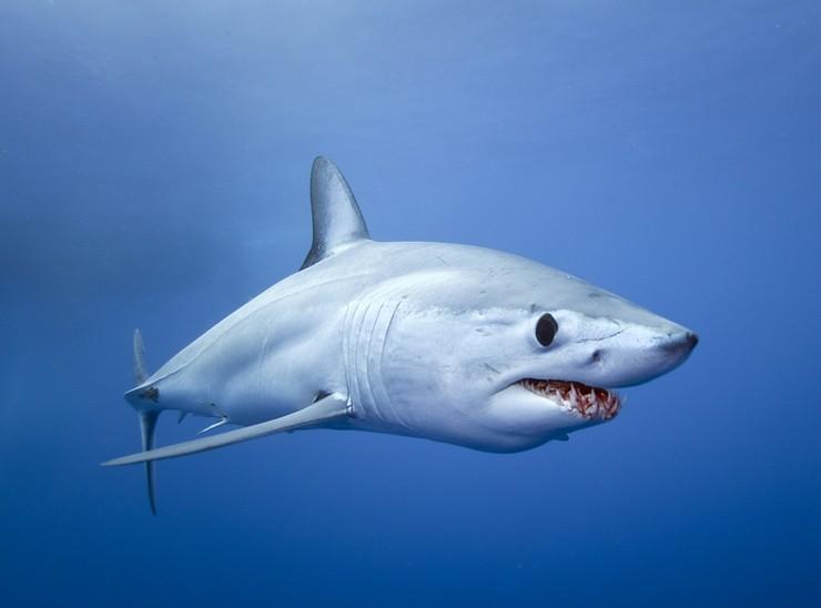 Акула-макоотличается огромными размерами, и исключительной быстротой среди сельдевых акул
