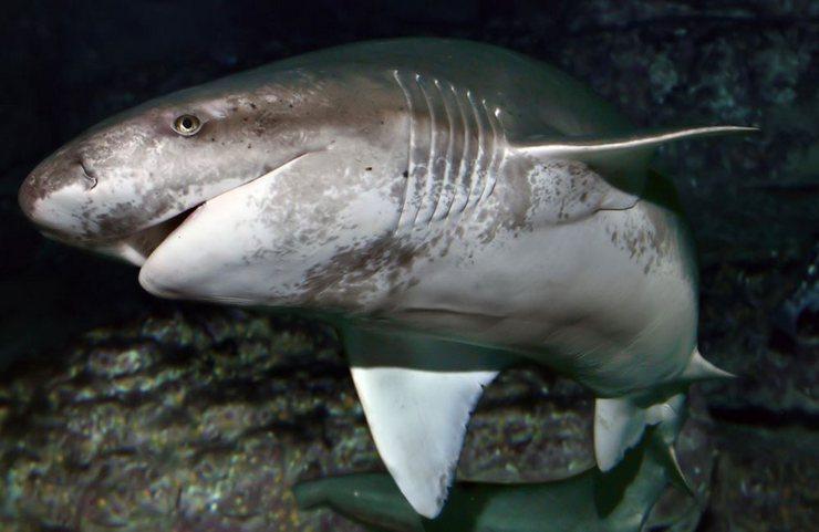 На человека шестижаберная акула не нападает, она сама не любит прикосновений