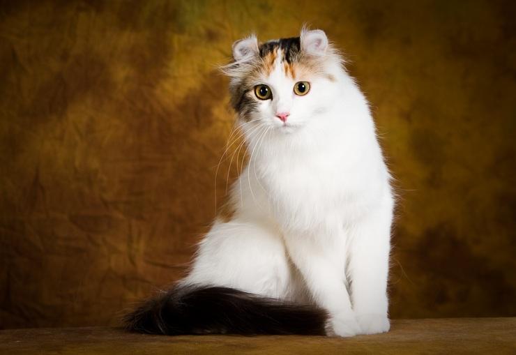 Эта порода кошек отличается оригинальной формой ушей, как бы завёрнутых назад