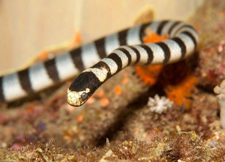 Это обладатель титула самой ядовитой змеи на планете