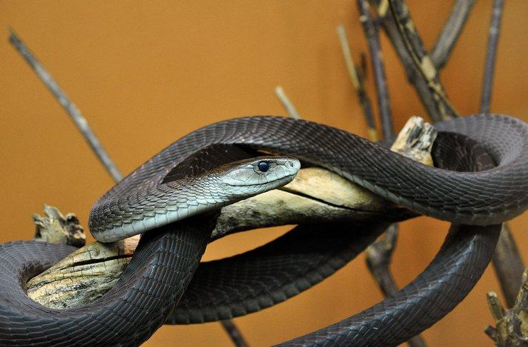 Черная мамба – очень «нервная» змея, готовая атаковать при малейшей опасности