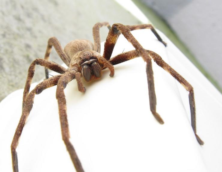 Гигантский крабовый паук назван так благодаря изогнутым «крабовым» конечностям, общий размер которых больше 30 см