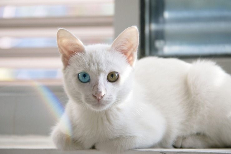 Интересно то, что глаза у представителей этой породы иногда бывают разного цвета