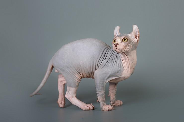 Название её, вероятно, объясняется тем, что уши у кошки чуть загибаются вперёд