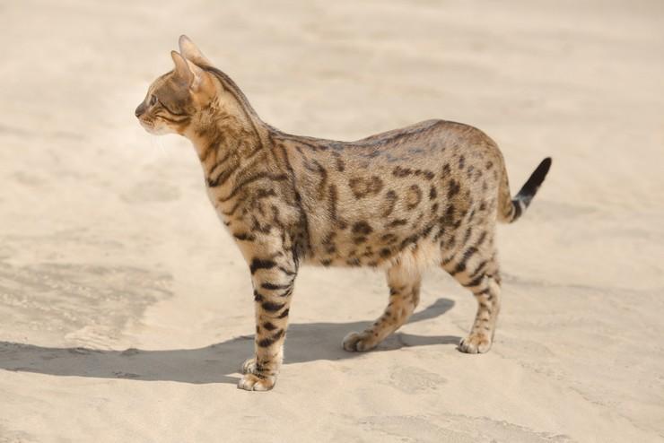 Получена путём скрещивания джорфуа — дикого кота из Южной Америки и простой домашней кошечки