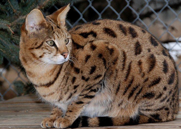 Порода имеет пятнистый окрас, напоминающий шкуру леопарда.