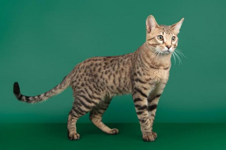 Кошки этой породы отличаются крепким телосложением, крупными ушками, ноги у них довольно длинные