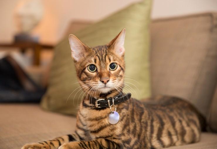 Внешне эта кошка напоминает тигра, чем и объясняется её название