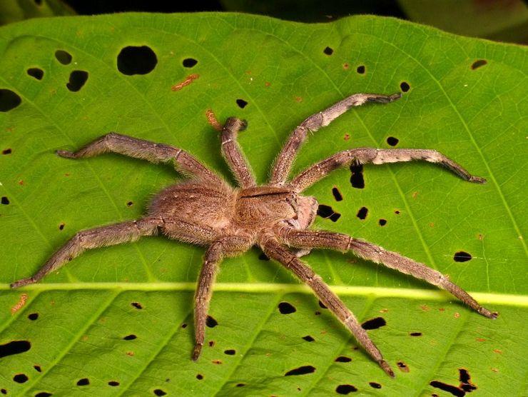 Бразильский странствующий паук среди наиболее ядовитых паукообразных на Земле