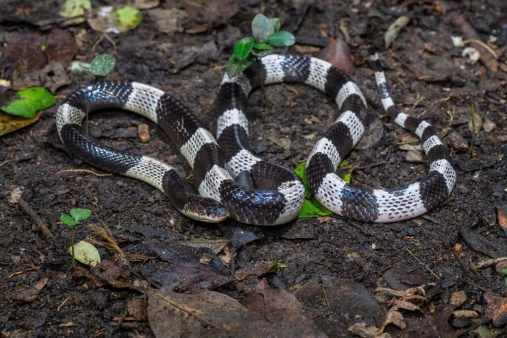 Малайский крайт – ночной хищник