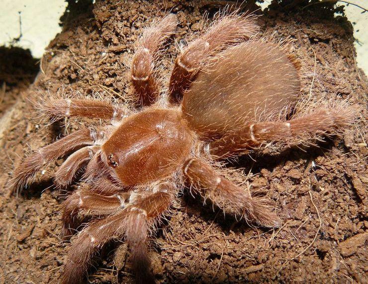 Гигантский бабуиновый паук назван так из-за сходства формы конечностей с лапами обезьян