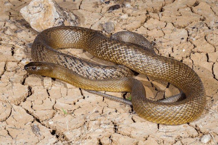 Тайпан – самая ядовитая змея, живущая на земле