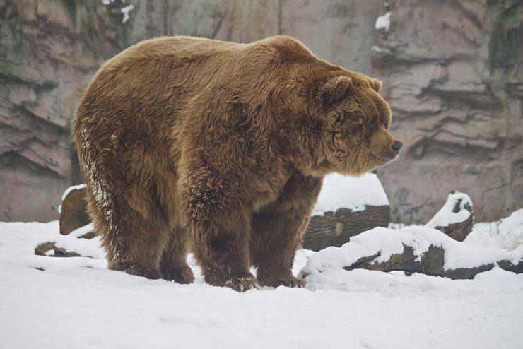 Медведь кадьяк