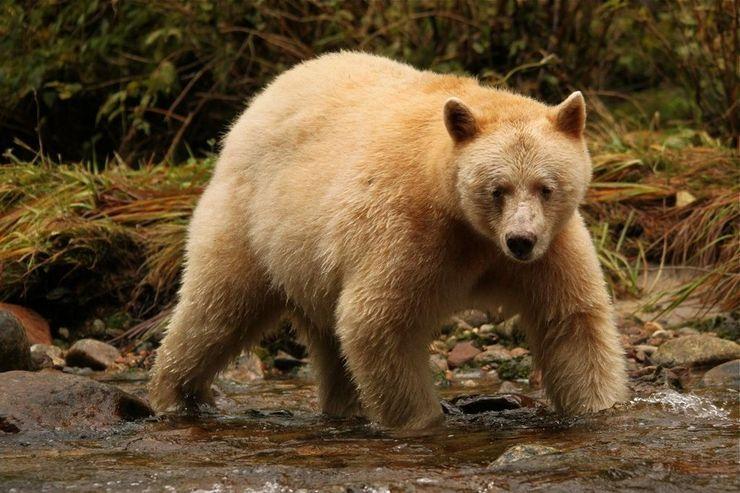 Медведь кермод