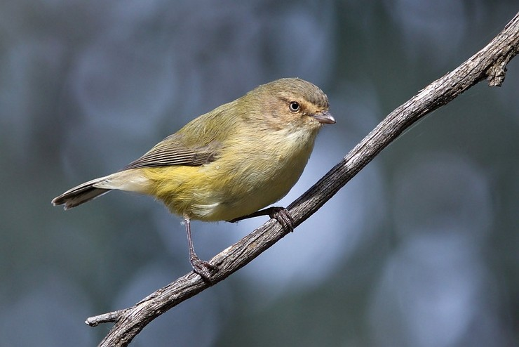 Птица Короткоклювка