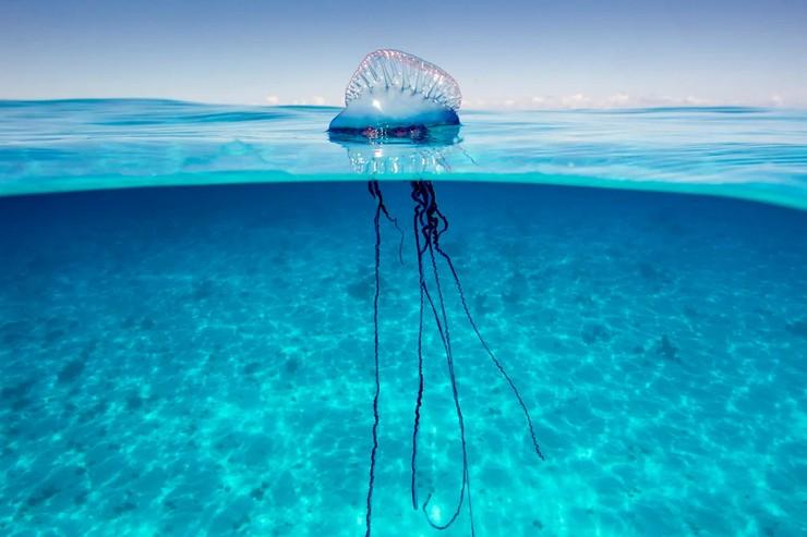 Медуза португальский кораблик