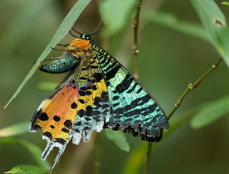 Урания Мадагаскарская