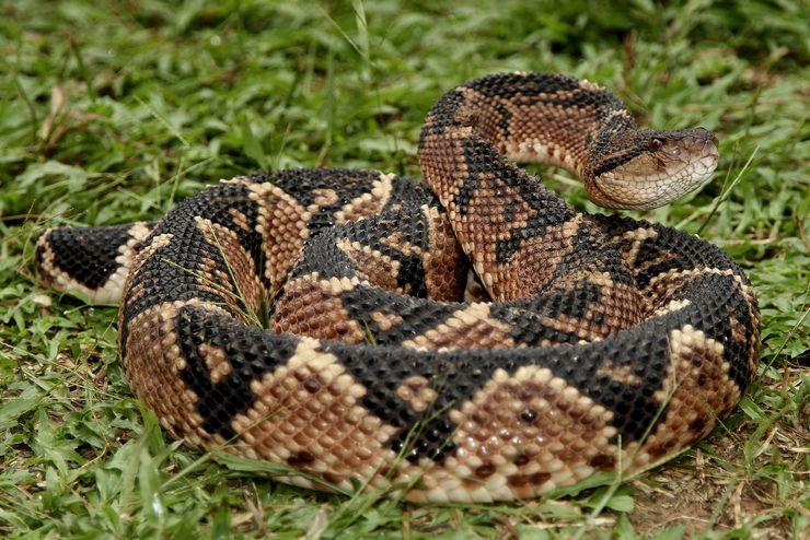 Змея бушмейстер