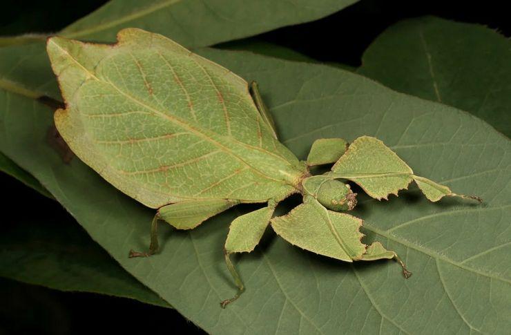 Листотел насекомое
