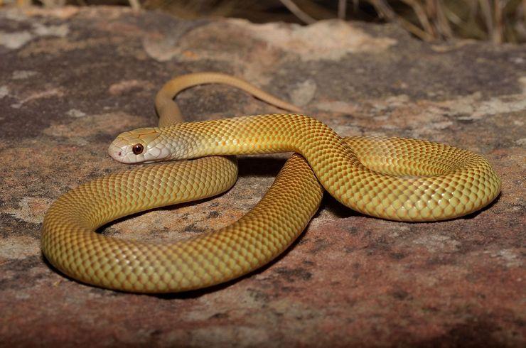 Змея мулга