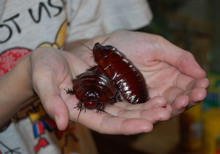 Таракан-носорог или роющий таракан