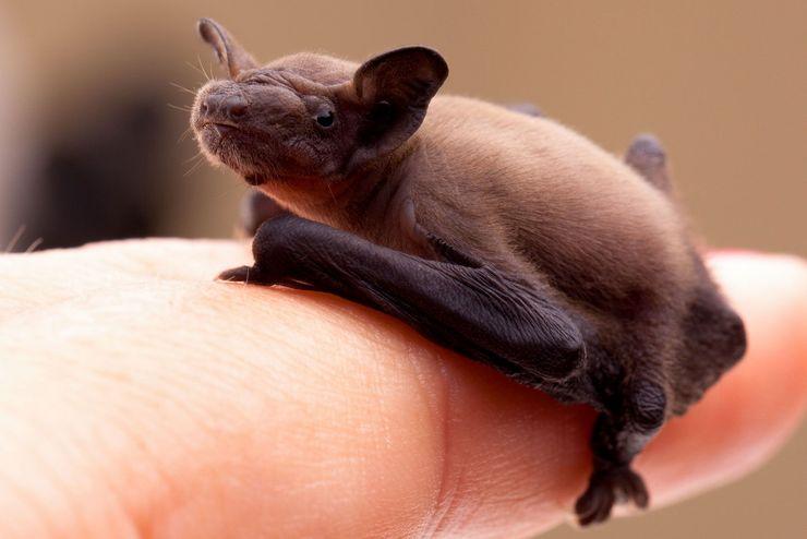 Летучая мышь Craseonycteris thonglongyai
