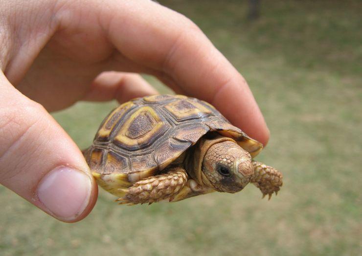 Черепаха Homopus signatus