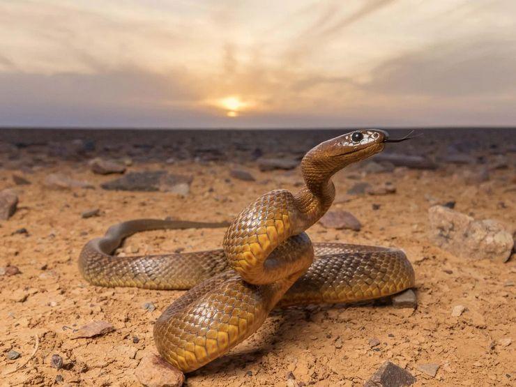 Тайпан змея